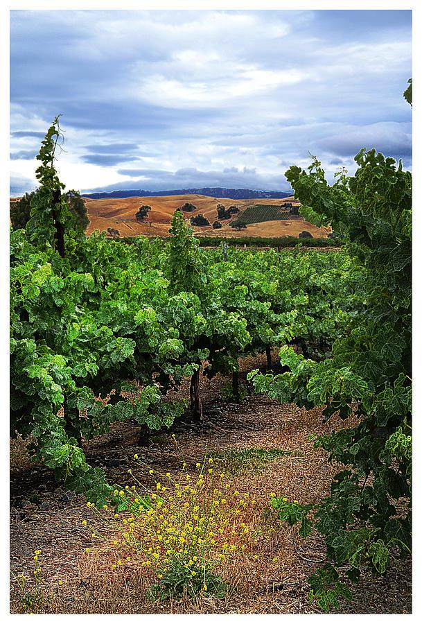 Vineyards Photograph - Livermore Vineyard 1 by Karen  W Meyer