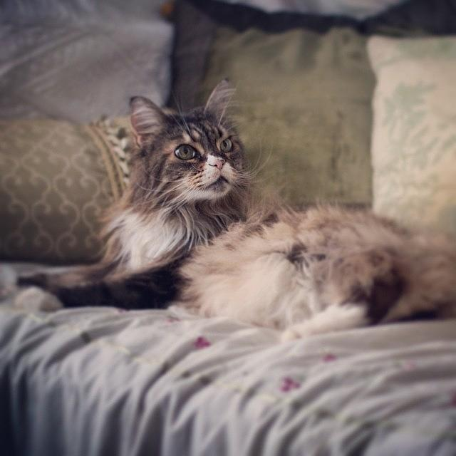 Mainecoon Photograph - Livin Large  by Heidi Hermes