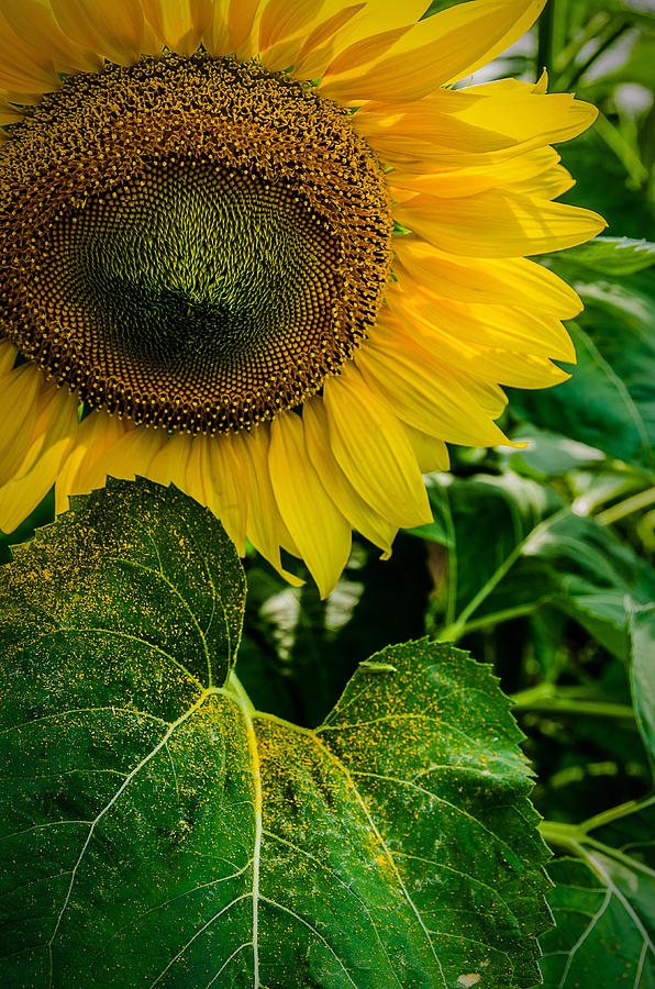 Sunflower Photograph - Living Sunshine by Rick Bartrand