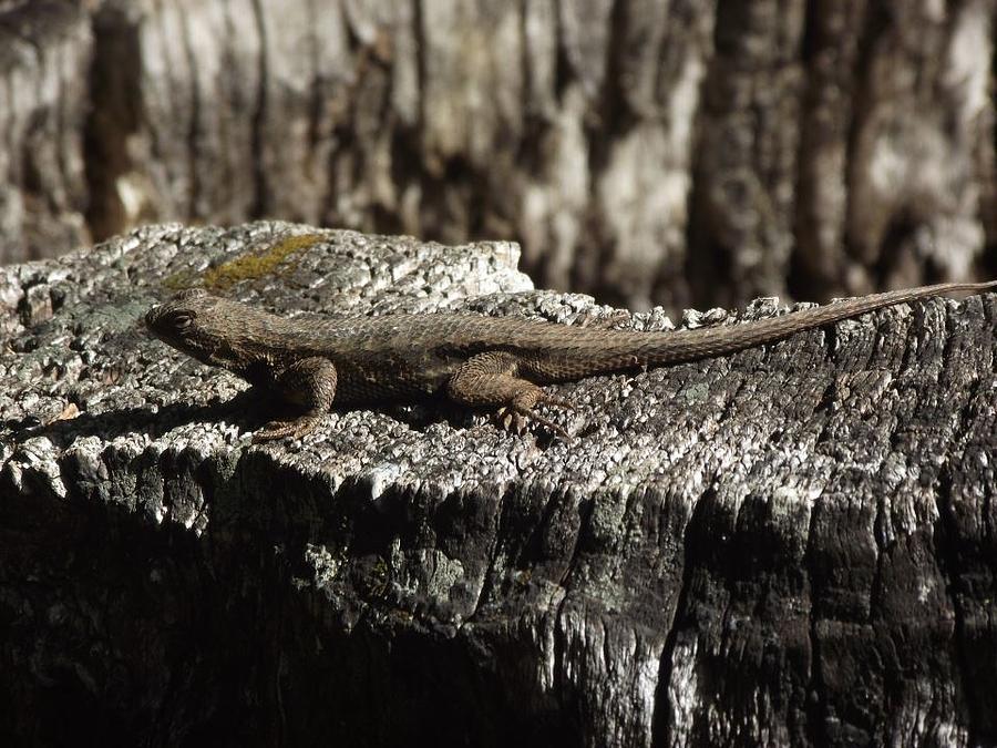 Lizard Photograph - Lizard In Thought by James Rishel