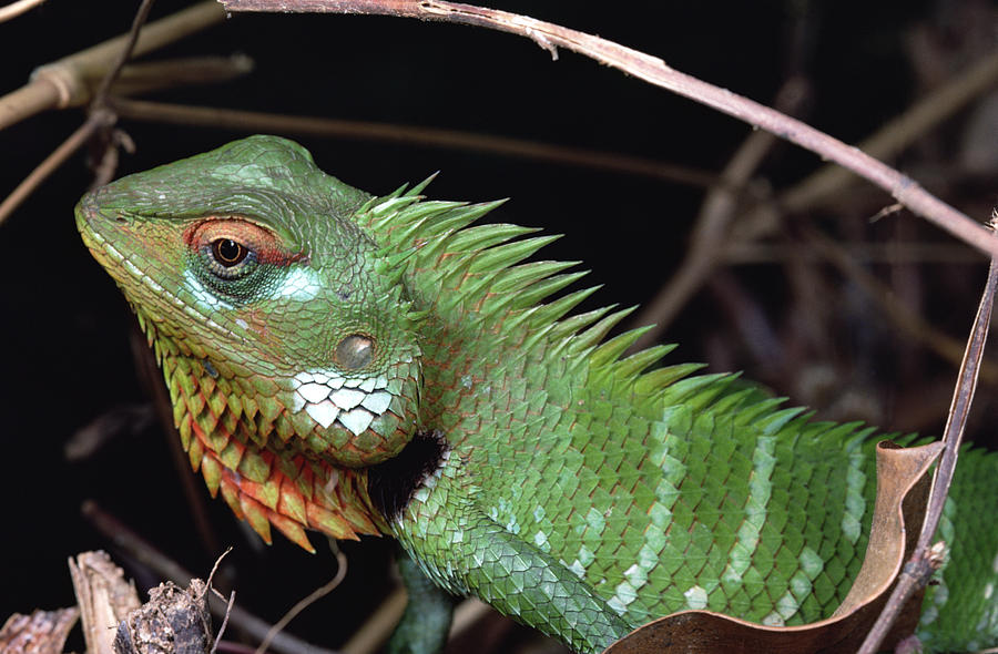 Lizard Portrait Sinharaja Biosphere Photograph by Mark Moffett