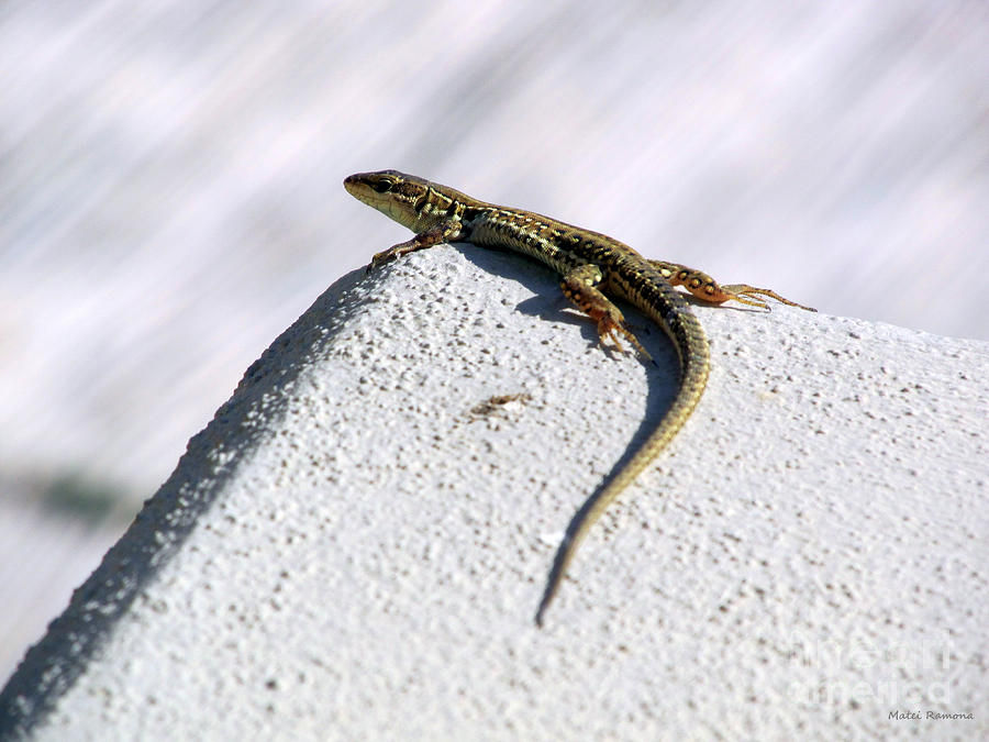 Lizard Photograph - Lizard by Ramona Matei