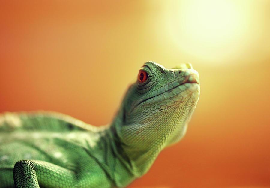Lizard Photograph by Savushkin