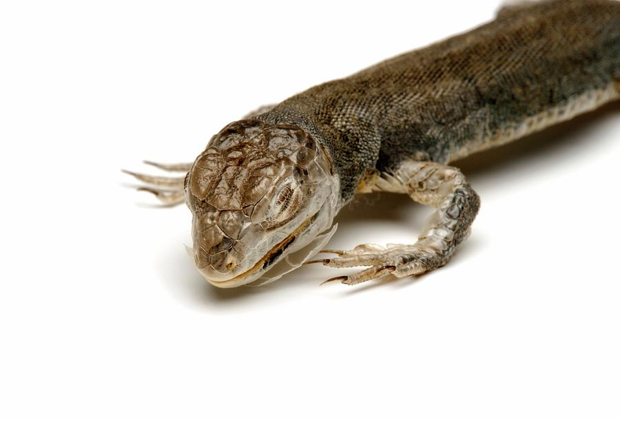 Lizard Photograph By Ucl Grant Museum Of Zoology