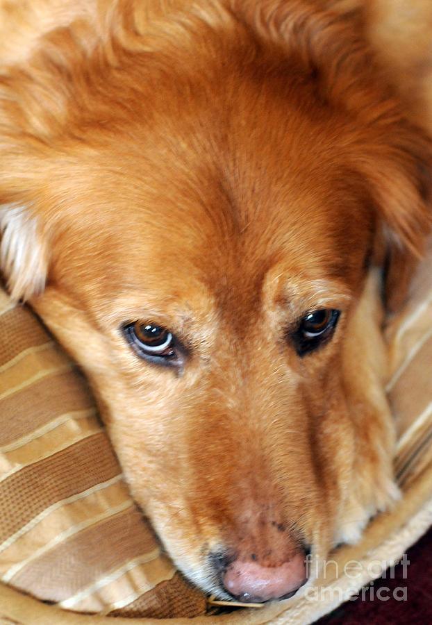 Dog Photograph - Lizzy Golden Retriever by Kathleen Struckle