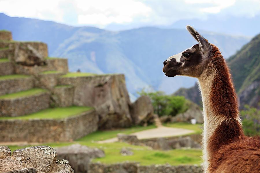 Llama At Machu Picchu Photograph by Jmwscout