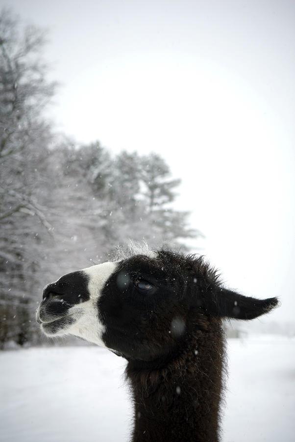 Alpaca Photograph - Llama Profile In Snowfall, Maine, New by Peter Dennen