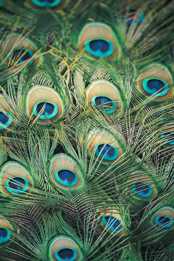 Peacock Photograph - Loads of feathers by Nastasia Cook