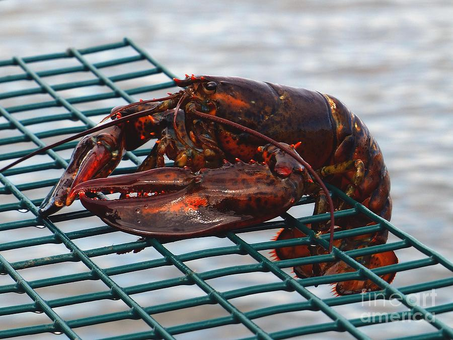 Lobster Trap Photograph - Lobster by Christine Stack