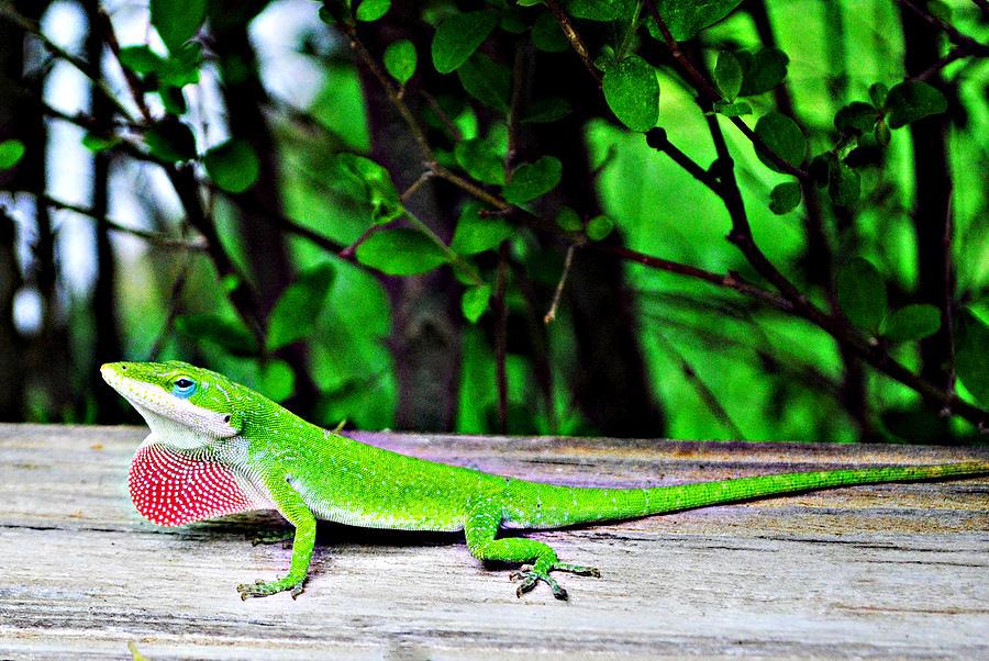 Gecko Photograph - Local Lizard by Stephanie Grooms