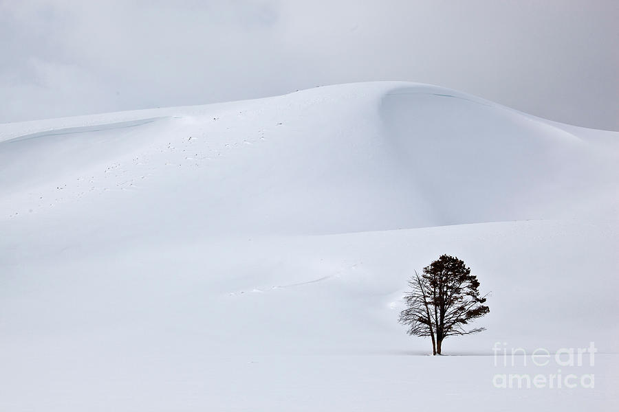 Yellowstone Photograph - Lodgepole Pine In Snowy Landscape by Greg Dimijian and Photo Researchers