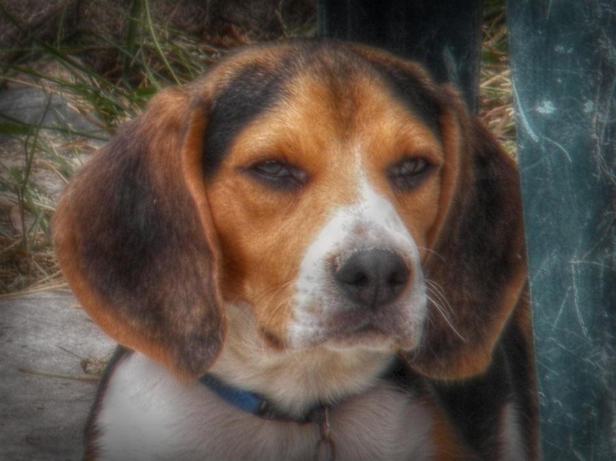 Beagle Photograph - Loki by Amanda Eberly-Kudamik