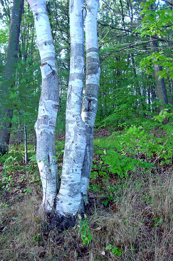 Birch Tree Photograph - Lone Birch In The Maine Woods by Suzanne Gaff
