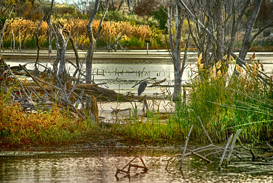Marsh Photograph - Lone Blue Heron In Fall by Kimberleigh Ladd
