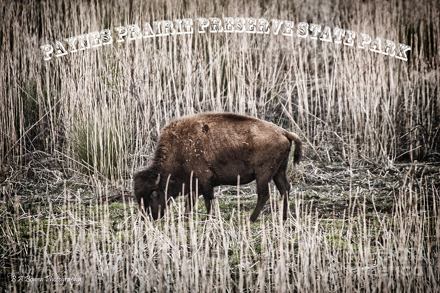 Buffalo Photograph - Lone Buffalo by Barbara Bowen