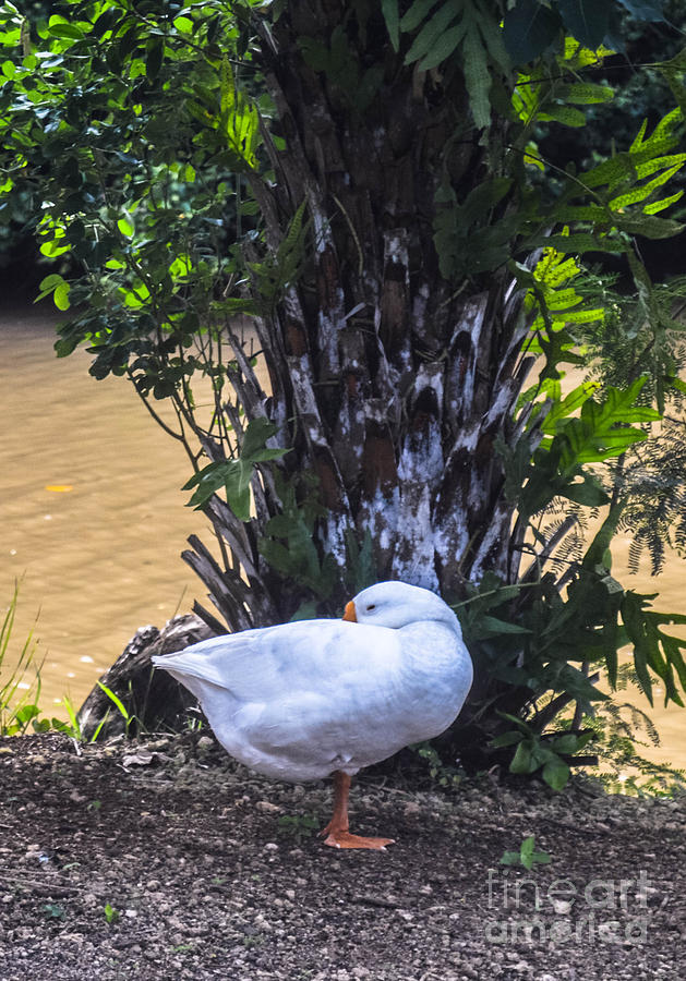 Duck Photograph - Lone Duck by Lisa Cortez