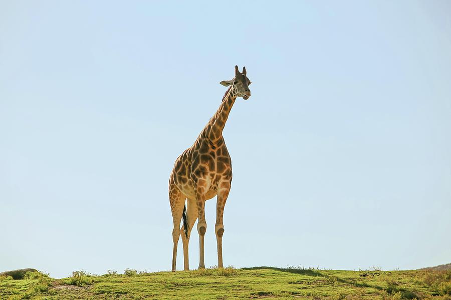 Lone Giraffe Photograph by Daniela Duncan
