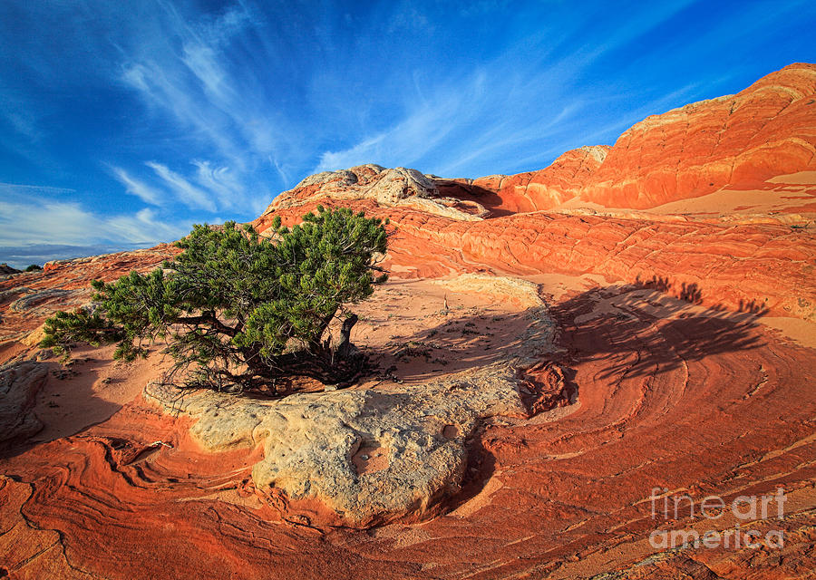 America Photograph - Lone Juniper by Inge Johnsson