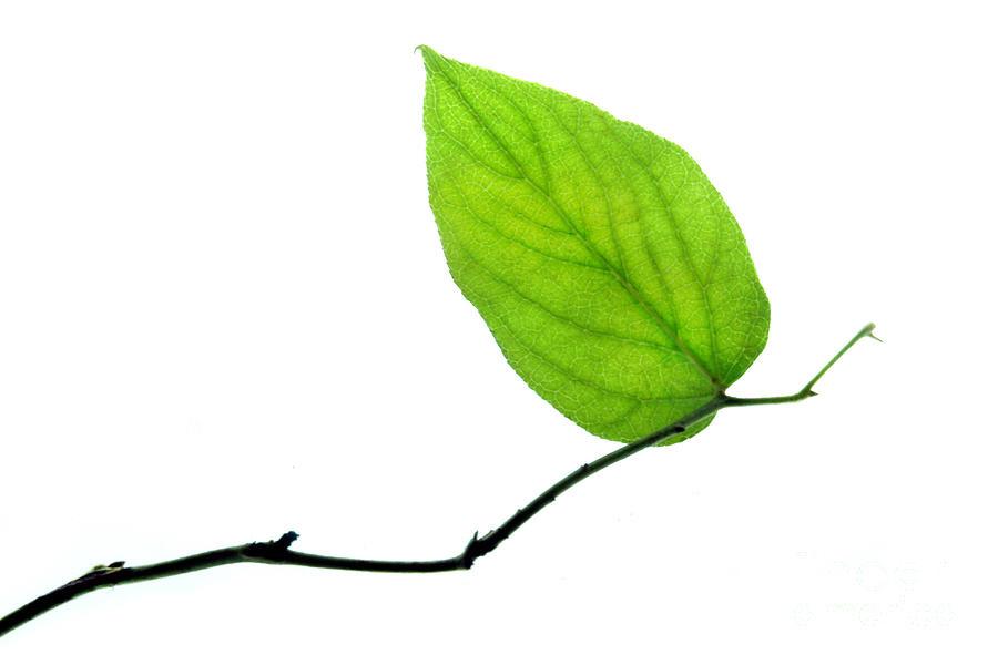 Leaf Photograph - Lone Leaf Large by Dan Holm