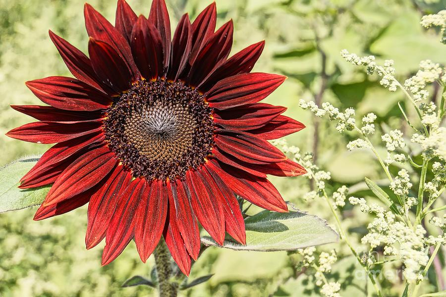 Agriculture Photograph - Lone Red Sunflower by Kerri Mortenson