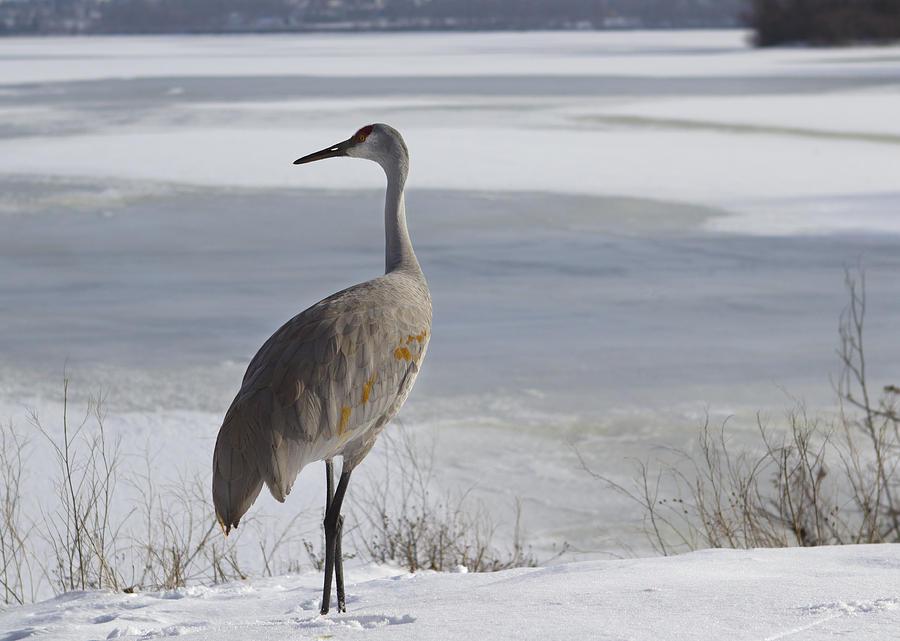 Lone Sandhill Crane In Winter Photograph