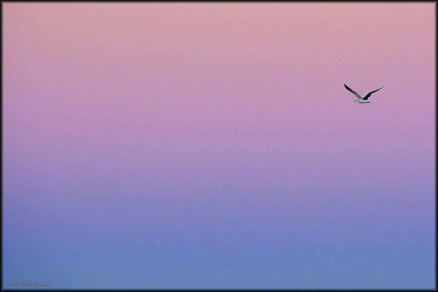 Sunrise Photograph - Lone Seagull by Erika Fawcett