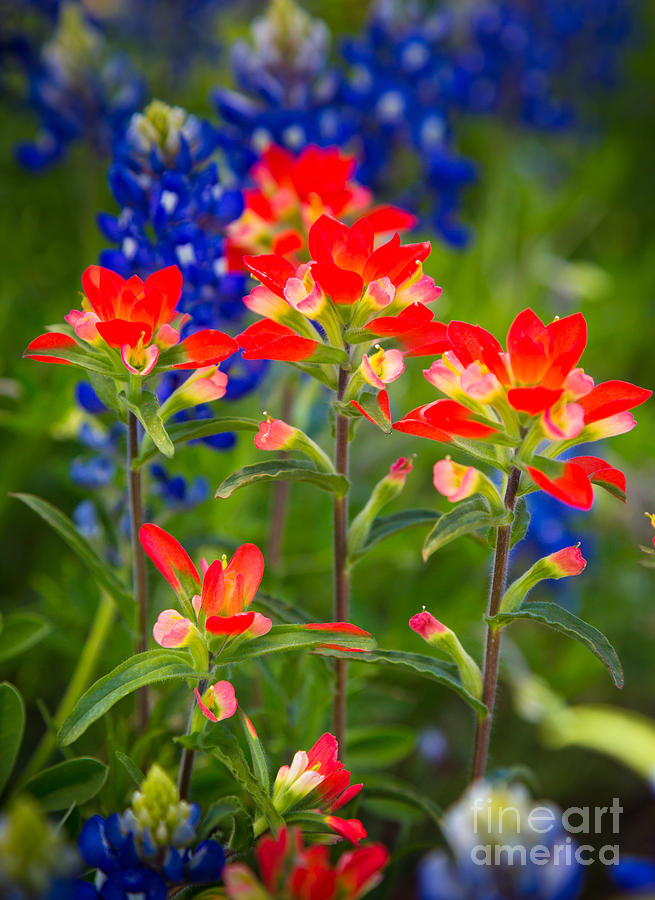 America Photograph - Lone Star Blooms by Inge Johnsson