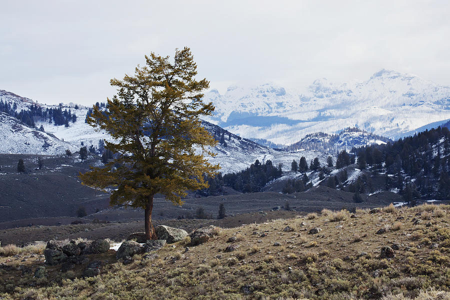 Lone Tree On A Mountain Side In Photograph by Susan Dykstra / Design Pics