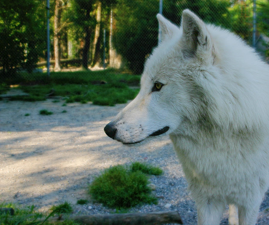Wolf Photograph - Lone Wolf by Aimee Lyn
