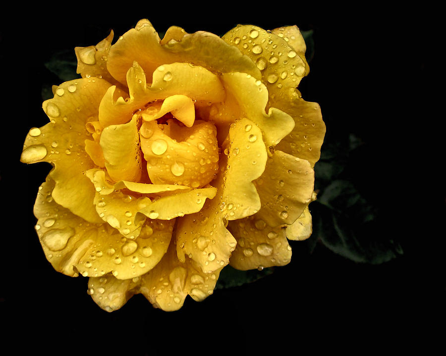 Rainfall Photograph - Lone Yellow Rose by Stephanie Hollingsworth