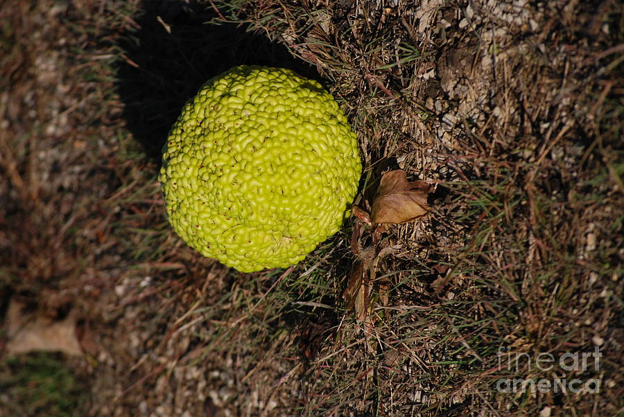 Bumpy Photograph - Lonely Hedge Apple by Mark McReynolds