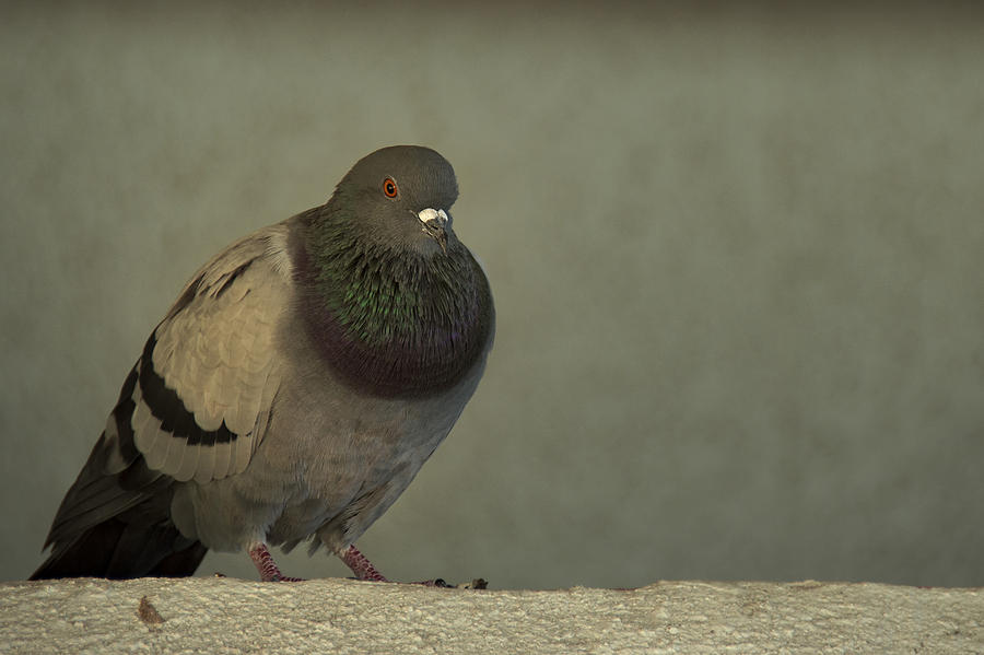 Pigeon Photograph - Lonely by Mario Celzner