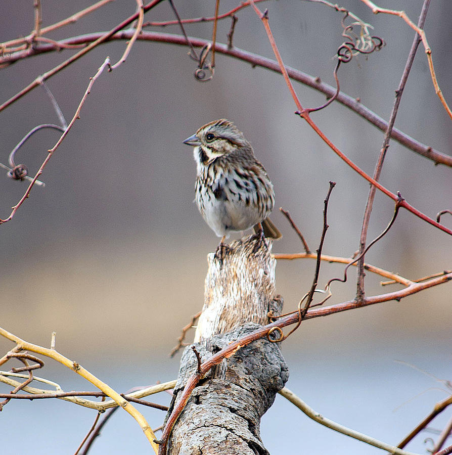 Lonely Sparrow Photograph by Martin Goldenberg