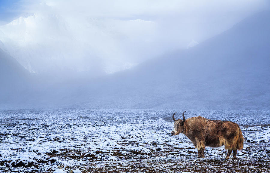 Lonely Yak In The Himalayas, Nepal Photograph by Feng Wei Photography