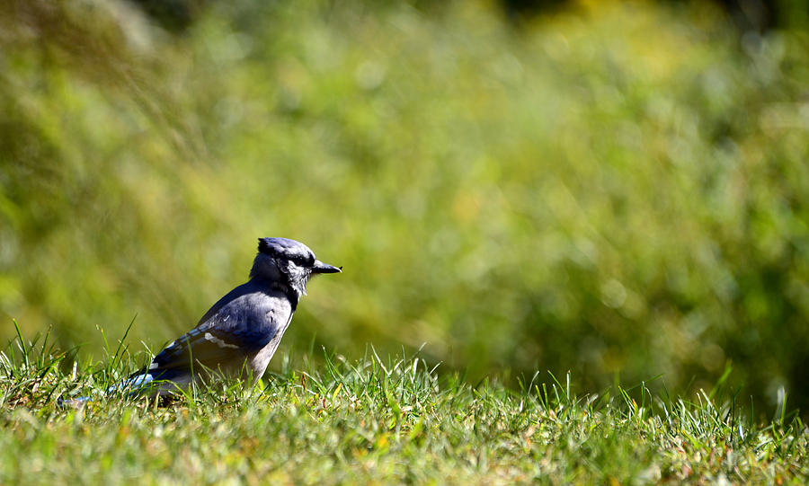 Blue Jay Photograph - Lonesome And Blue by Lori Tambakis