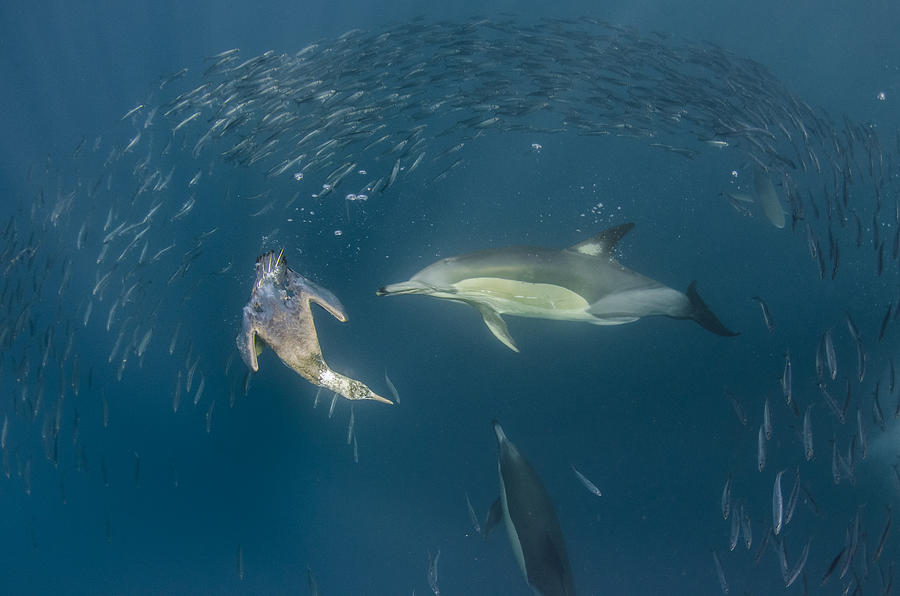 Long-beaked Common Dolphins And Cape Photograph by Pete Oxford