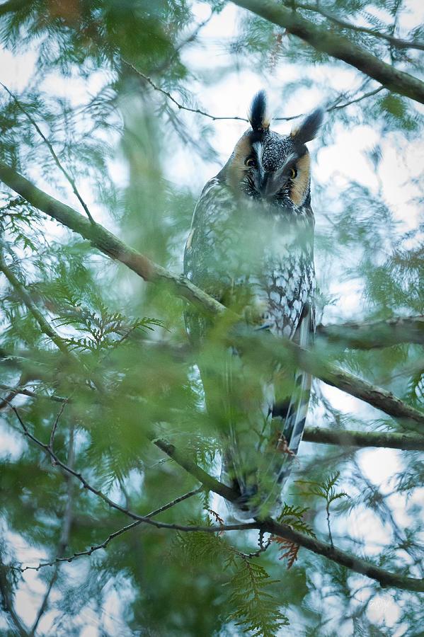 Long-eared Owl 2 Photograph