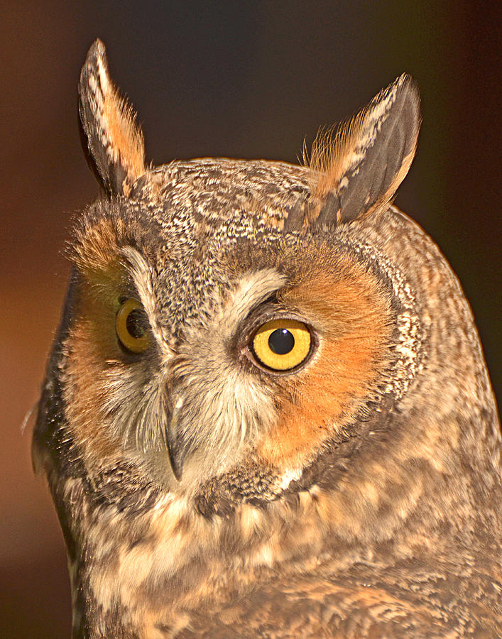 Long-eared Owl Photograph - Long-eared Owl by Nancy Landry