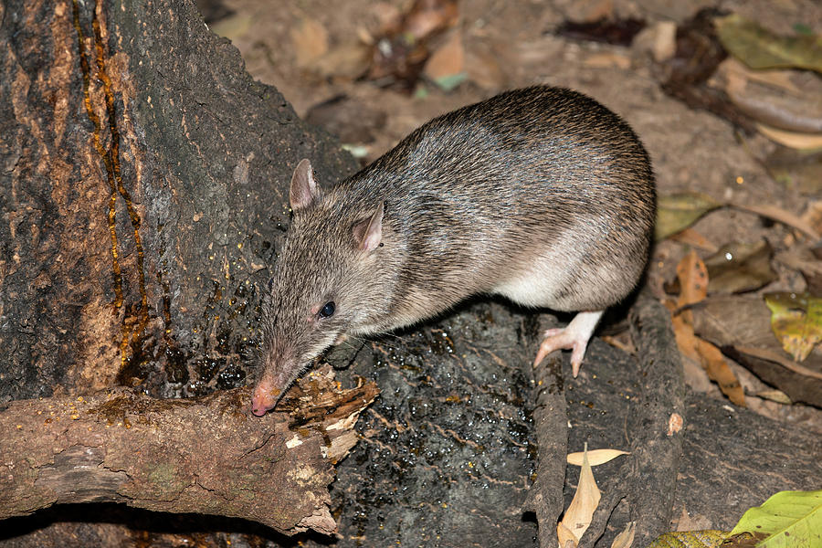 Potorous Tridactylus Photograph - Long-nosed Potaroo by Louise Murray