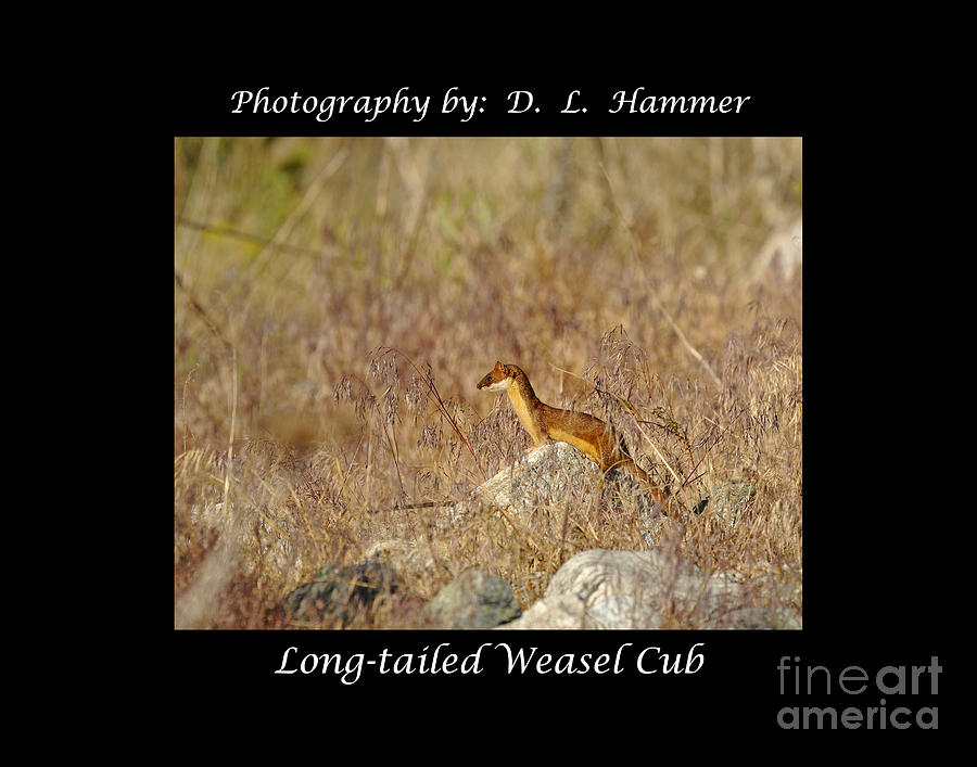 Wildlife Photograph - Long-tailed Weasel Cub by Dennis Hammer