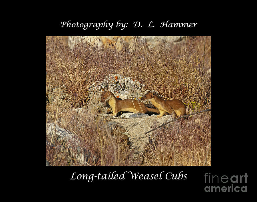 Wildlife Photograph - Long-tailed Weasel Cubs by Dennis Hammer
