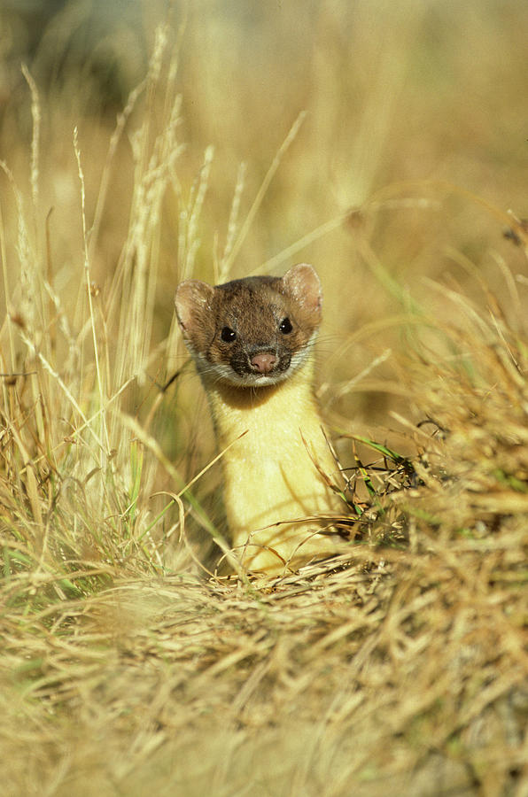 Camouflage Photograph - Long-tailed Weasel (mustela Frenata by Richard and Susan Day
