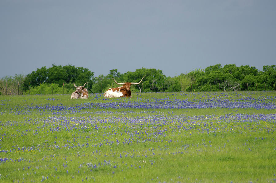 Longhorns And Bluebonnets Photograph by Linda Trine