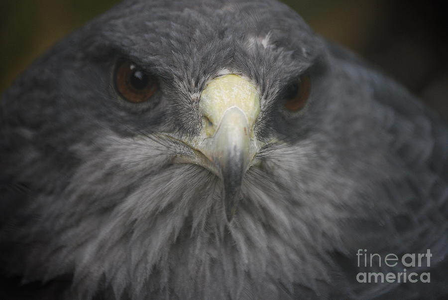 Falcon Photograph - Longing  by Susan Hernandez