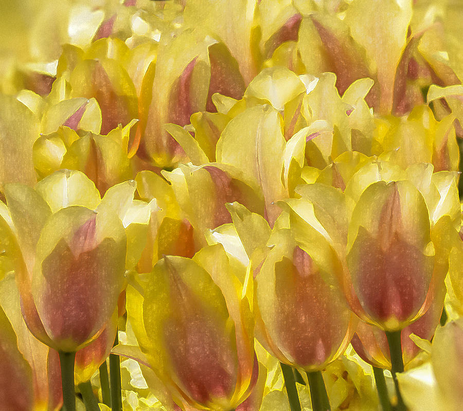 Digital Painting Digital Art - Longwood Gardens Tulips by Jill Balsam