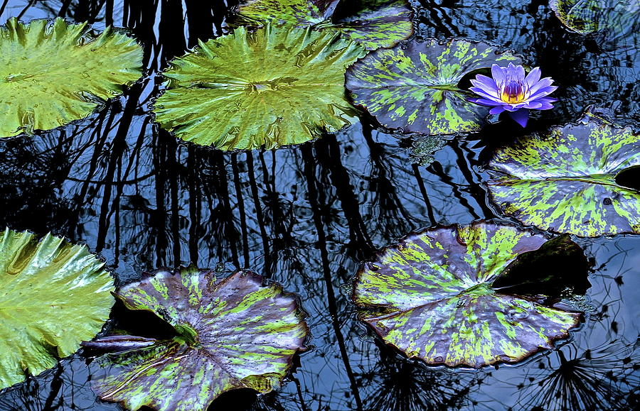 Water Photograph - Longwood Lily by Thomas Camp