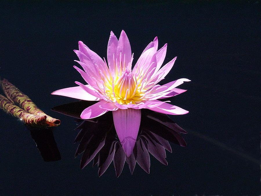 Longwood - Water Lily IV by Richard Reeve