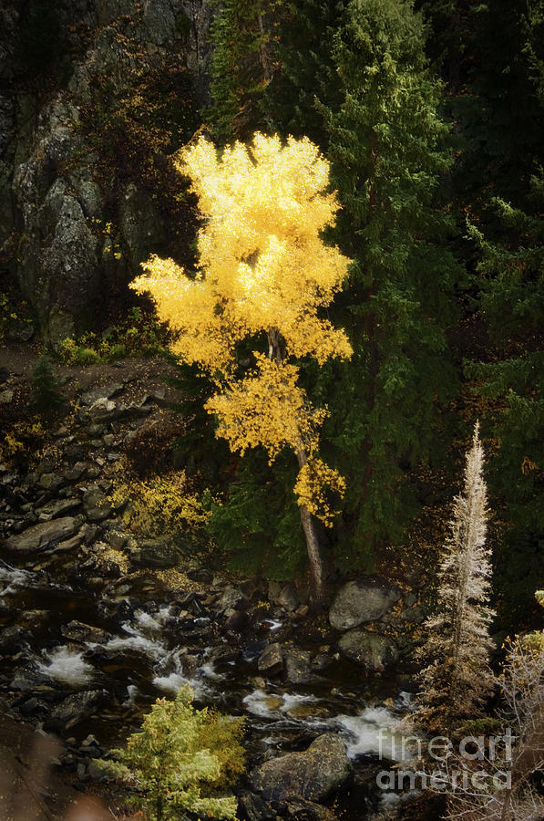 Aspen Photograph - Lonly Aspen by Jim  Calarese