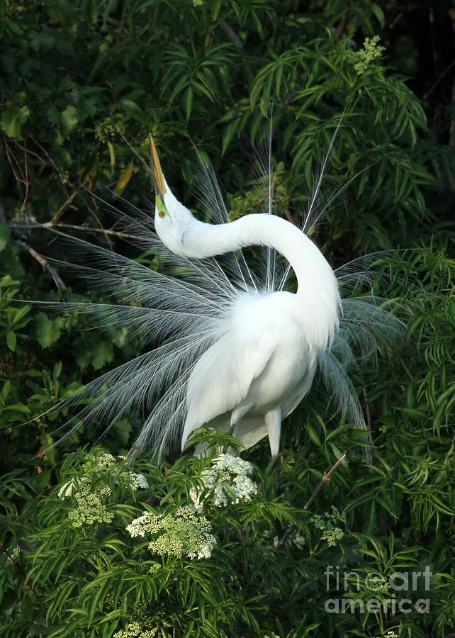 Great White Egret Photograph - Look At Me by Sabrina L Ryan