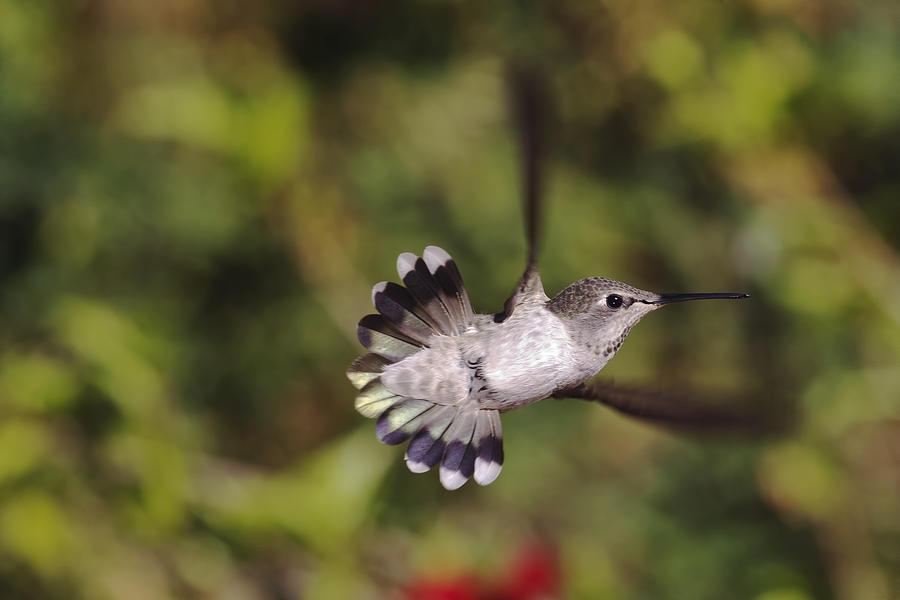 Hummingbird Photograph - Look At Meeeeee by Mike Herdering